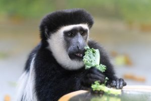 Leaf-eating primates: nutrition and dietary husbandry