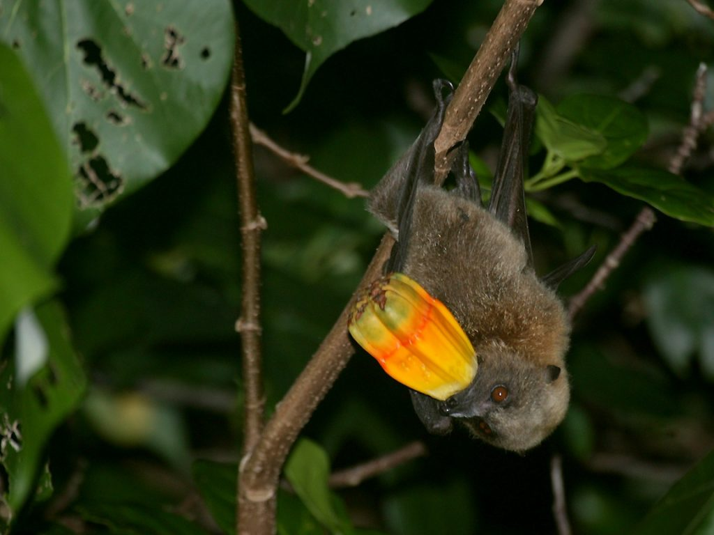 Flying Fox With Fruit