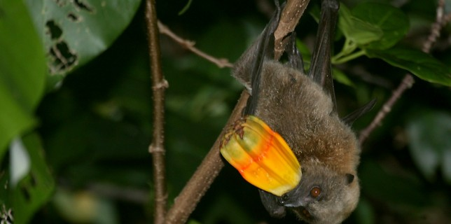 Hemochromatosis (Iron Storage Disease) in Fruit Bats