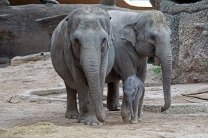 Elephants: nutrition and dietary husbandry